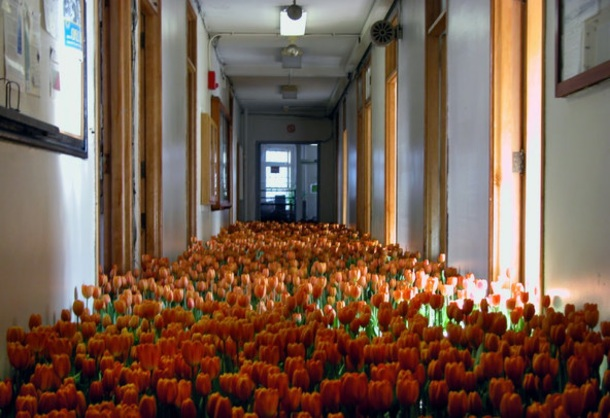 a view down an institutional hallway, whose floor is full from end to end and side to side with blooming bright orange tulips.