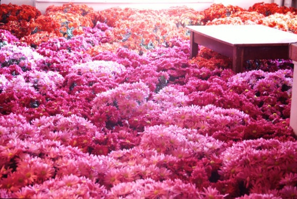 an office at the center, with a single wooden desk buried knee-deep in bright pink mums, in mounds and bunches all over the floor.